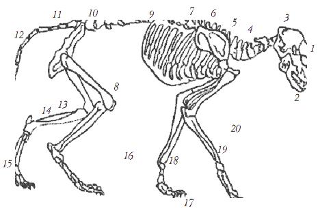 Строение скелета кошки: 1