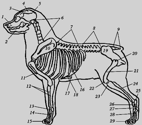 Скелет кавказской овчарки: 1