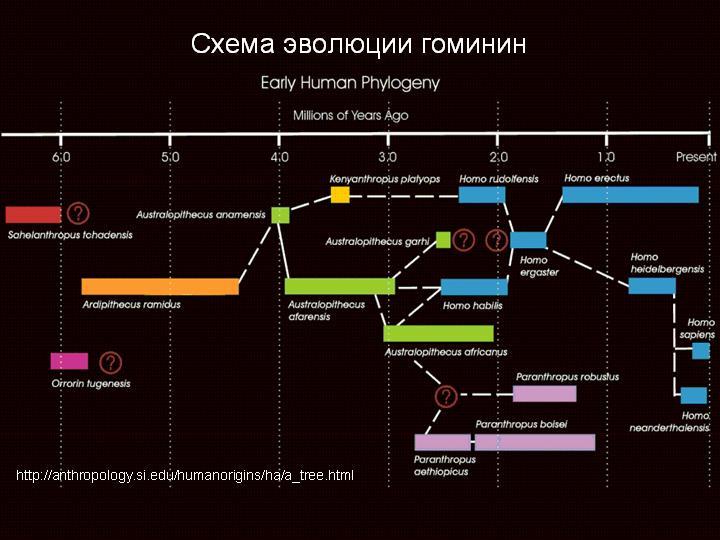 Это схема эволюции гоминин с