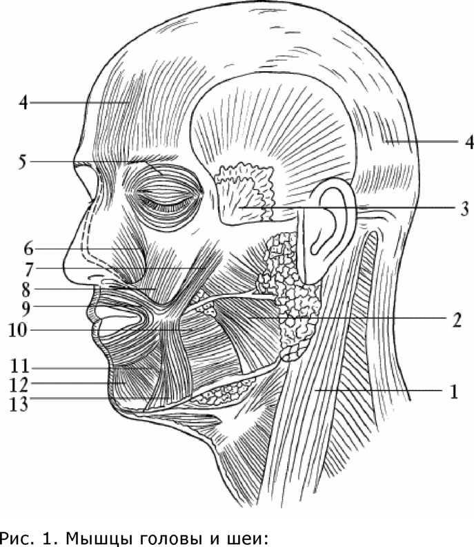 Мышца височная фото