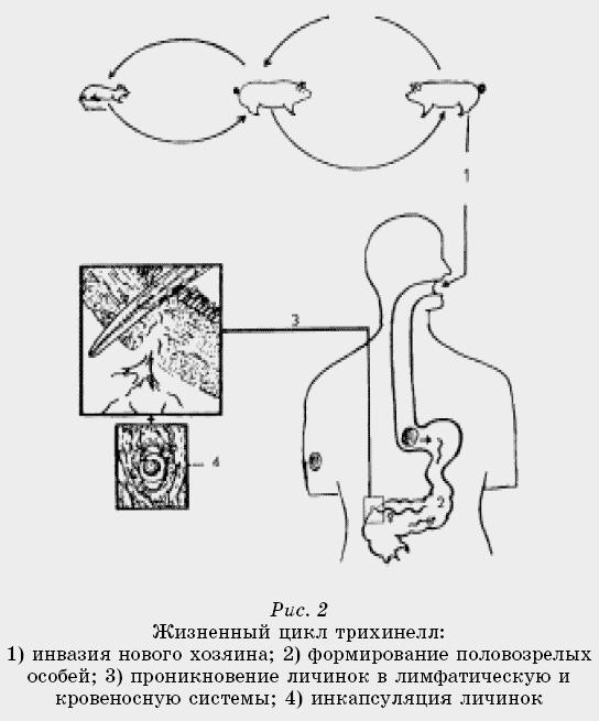 «Трихинеллы от паразитирования