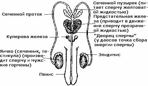 Жизненный ресурс спермы человека